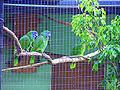 Amazona arausiaca -Roseau -Dominica -aviary-6a.jpg