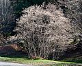 Amelanchier canadensis (Thicket Serviceberry) (25992630554).jpg
