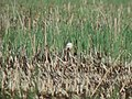 Amelanistic Yellow-headed Blackbird (male), Bowdoin NWR, MT, May 30, 2003 (6690624369).jpg