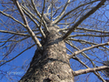American-Sycamore-Bark-Winter.png