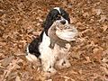 American Cocker Spaniel with partridge.jpg