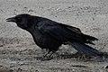 American Crow (Corvus brachyrhynchos) - Kitchener, Ontario 2019-03-27 (02).jpg