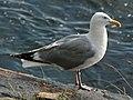 American Herring Gull (Larus smithsonianus) RWD1.jpg