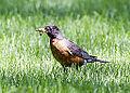 American Robin (14691517961).jpg