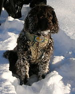 An American water spaniel, the state dog of Wisconsin