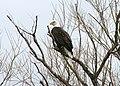 American bald eagle nowak odfw (8509667467).jpg
