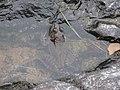 American bullfrog Little White R 1.jpg