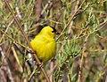 American goldfinch on Seedskadee National Wildlife Refuge (34988482741).jpg