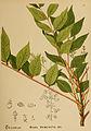 American medicinal plants (Plate 37) (6025397369).jpg