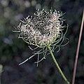 Ammi élevée-Ammi majus-Fleur-20140817.jpg