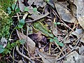 Amphibian southern leopard frog Goose Creek State Park Kristie Gianopulos (69).jpg