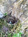 Amsel Eier im Netz 2.jpg