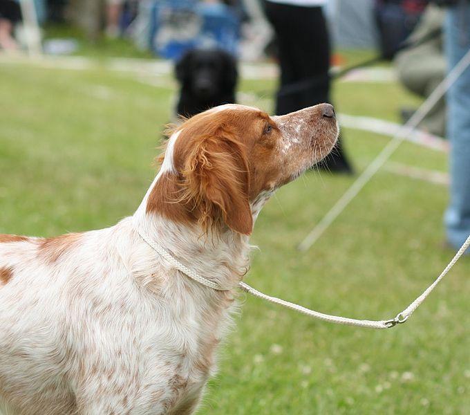 File:An Epagneul Breton - world dog show 2010.jpg