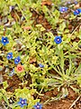 Anagallis arvensis (red-blue).jpg