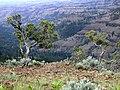 Ancient Pines on Cliff Edge-Umatilla (23620844290).jpg
