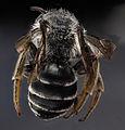 Andrena aliciae, male, back (2) 2012-08-07-17.13 (7980164721).jpg