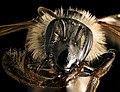 Andrena bradleyi, f, face, Maryland 2016-04-07-14.58 (26231697580).jpg