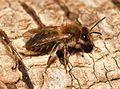 Andrena mitis.jpg