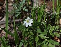 Anemonoides amurensis 71596025.jpg