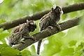 Animais serra da cantareira mico DSC5010.jpg