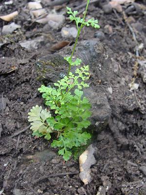 Anogramma - A. leptophylla