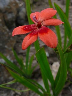 <i>Freesia laxa</i>