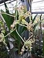 Ansellia gigantea -波蘭 Krakow Jagiellonian University Botanic Garden, Poland- (36594830641).jpg