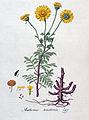 Anthemis tinctoria — Flora Batava — Volume v4.jpg