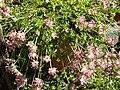Anthyllis vulneraria ssp pyrenaica 3.JPG