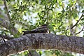 Antillean Nighthawk (Chordeiles gundlachii); napping in tree in Cabo Rojo National Wildlife Refuge, Puerto Rico.JPG