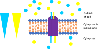 Membrane transport protein - This picture represents antiport. The yellow triangle shows the concentration gradient for the yellow circles while the blue triangle shows the concentration gradient for the blue circles and the purple rods are the transport protein bundle. The blue circles are moving against their concentration gradient through a transport protein which requires energy while the yellow circles move down their concentration gradient which releases energy. The yellow circles produce more energy through chemiosmosis than what is required to move the blue circles so the movement is coupled and some energy is cancelled out. One example is the sodium-proton exchanger which allows protons to go down their concentration gradient into the cell while pumping sodium out of the cell.
