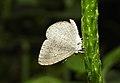 Apefly Spalgis epius by Dr. Raju Kasambe DSCN1502 (6).jpg