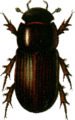Aphodius rufipes Jacobson.png