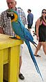 Ara ararauna -parrot perching on table -Fort Myers Beach-8a.jpg