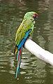 Ara militaris -Wildlife World Zoo -Arizona-8a.jpg