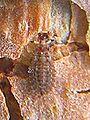 Aradus cinnamomeus young 3 bialowieza beentree.jpg