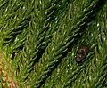 Araucaria heterophylla - Flickr - S. Rae (2).jpg