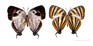<i>Arawacus</i> genus of insects
