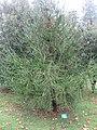Arboretum de Bagnoles - Cryptomeria japonica 'araucarioides'.jpg