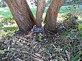 Arbutus unedo tree.jpg