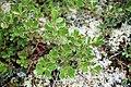 Arctostaphylos uva-ursi 1-eheep (5098069798).jpg
