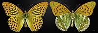 Argynnis paphia MHNT CUT 2013 3 24 PONT GERENDOINE Male.jpg