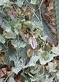 Aristolochia chilensis 03.jpg