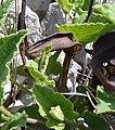 Aristolochia pistolochia2.jpg