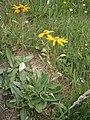 Arnica montana RHu 001.JPG