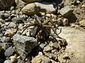 Around Azillanet spider (997828387).jpg