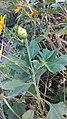 Arya.Tithonia diversifolia.cangkring.2019.jpg