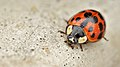 Asian Lady Beetle (Harmonia axyridis) - Guelph, Ontario 2016-02-28.jpg