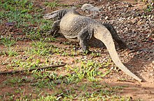 Asian water monitor - Wikipedia