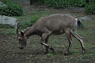 Siberian ibex - Siberian Ibex.